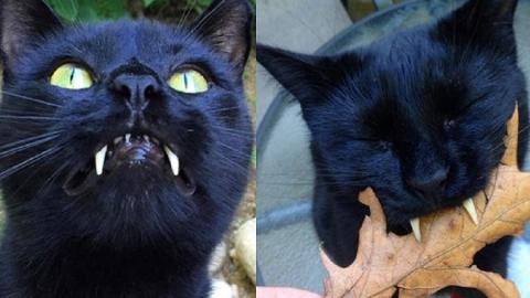 """""""Scimmietta"""", il gatto Vampiro!"""