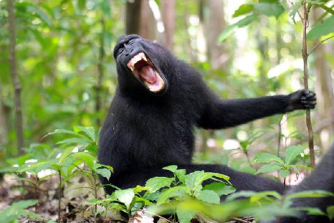 Se avessero un cervello compatibile, anche le scimmie potrebbero parlare!