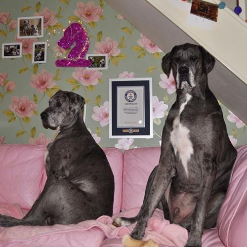 Myfacemood - Freddy è il vincitore del Guinness World Record essendo il cane più alto del mondo