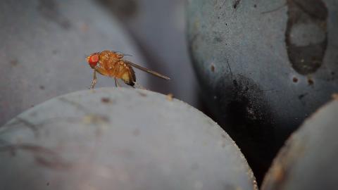"""I ricercatori hanno capito il """"trucco"""" del volo acrobatico di una mosca!"""