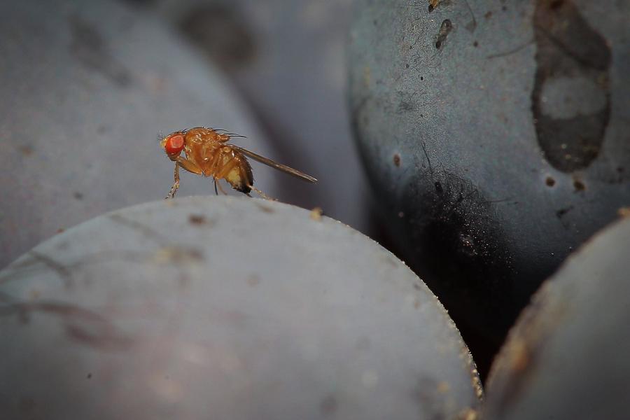 Myfacemood - I ricercatori hanno capito il trucco del volo acrobatico di una mosca