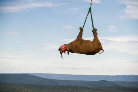 Un rinoceronte di 1.000 Kg viene salvato dalla caccia dei bracconieri