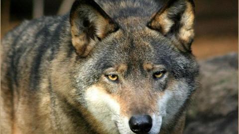 I lupi, come noi umani, riconoscono il fair play!