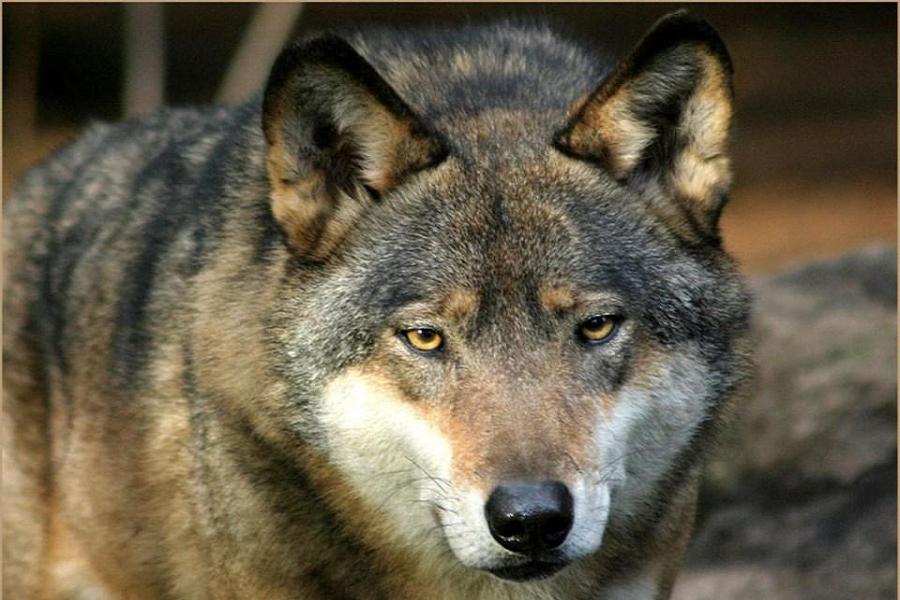 Myfacemood - I lupi, come noi umani, riconoscono il fair play!
